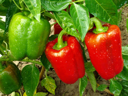 capsicums: red and green peppers growing in the garden