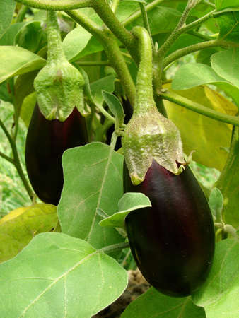 eggplant fruits growing in the garden                                Stock Photo