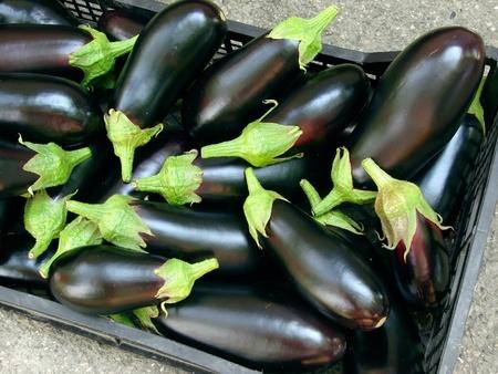 harvests: fresh harvested organic eggplants