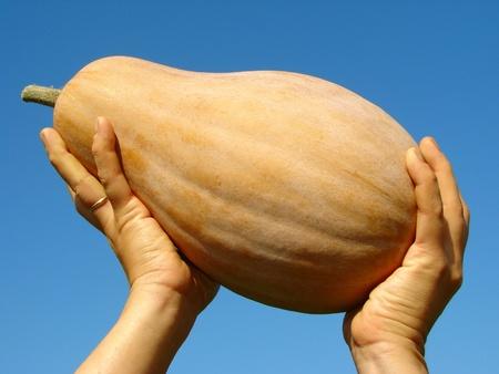 gourds: pumpkin - Cucurbita moschata - in human hands