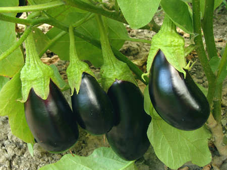 ripening: eggplant fruits growing in the garden                                Stock Photo