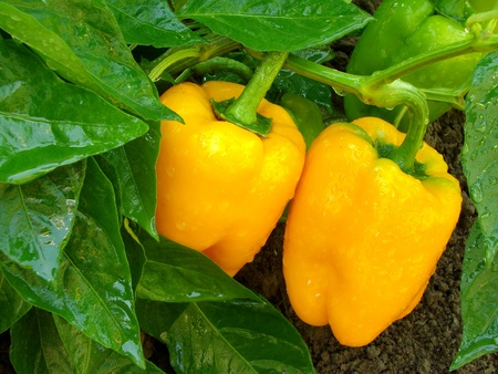 paprica: orange peppers ripening among the leaves                                Stock Photo