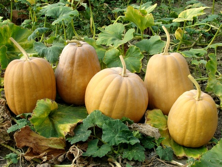 fresh harvested pumpkins among the leaves                                photo