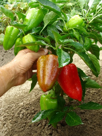 the fruitful: fruitful pepper plant with red and green fruits