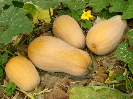 pumpkin patch: butternut squashes growing on vine                                Stock Photo