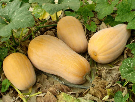 butternut squashes growing on vine Stock Photo - 15691496