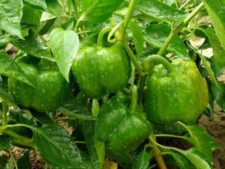 bell pepper plant with ripening green fruits                                photo