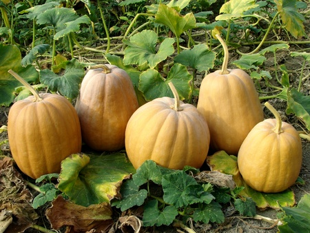 fresh harvested pumpkins among the leaves Stock Photo - 15956116