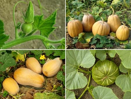 pumpkins in a garden Stock Photo - 17020291