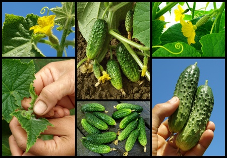 cucumbers set from bud to fruit photo