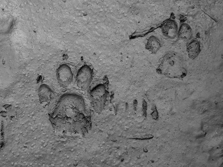 real dog footprint on wet ground black and white                                photo