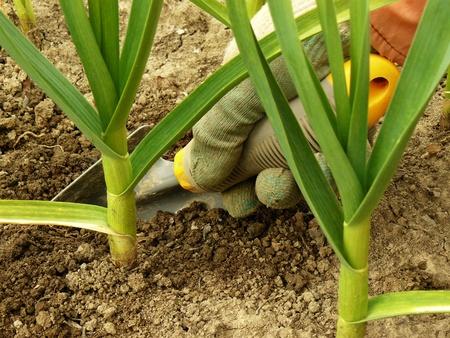 farming tools: human hand caring garlic plants
