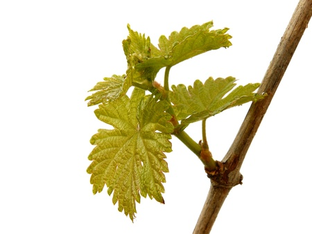 fresh vine sprout on white