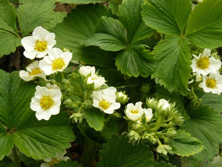 strawberry plant: strawberry plants flowering in the garden