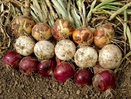 bundles: harvested home grown onion bulbs different varieties                                  Stock Photo