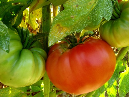 fungal: pink home grown tomatoes sprayed with Bordeaux mixture to protect against fungal infections                                Stock Photo