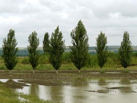 poplars: rural landscape with poplar windbreak fragment after rain