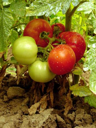 살균제: 토마토 스톡 사진