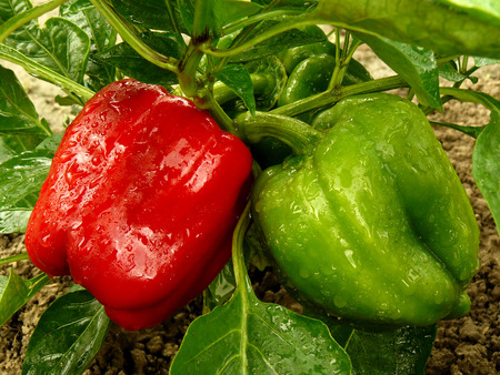 home grown: red and green bell peppers Stock Photo