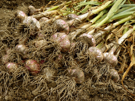 armful of harvested garlic bulbs with tops on the ground photo