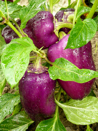 riped: purple peppers ripening on the vegetable bed