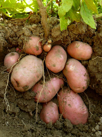 bulb and stem vegetables: potato plant with tubers digging up from the ground