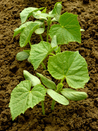 cuke: small cucumber plants growing on a bed Stock Photo