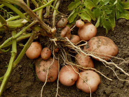 haulm: potato plant with tubers digging up from the ground