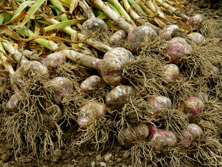 fresh harvested garlic heap on the ground photo