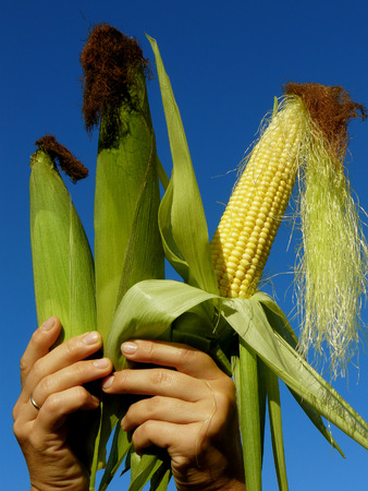 shuck: fresh harvested three corn ears in hands Stock Photo