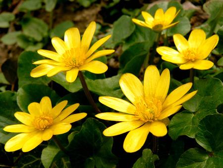 palustris: marsh marigold first spring flowers