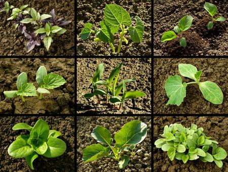 germinación: conjunto de plántulas que crecen en los lechos vegetales