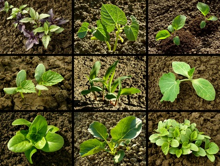 germination: set of seedlings growing on the vegetable beds
