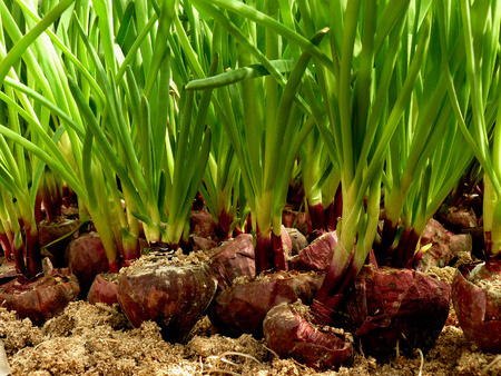 substrate: growing green onion from large bulbs on sawdust substrate in hothouse
