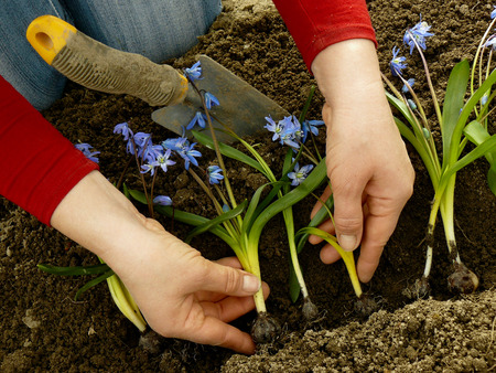 planting siberian squill on flower bed