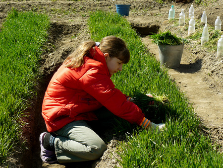 girl thins out green wheat which used as green manure for sowing seeds photo