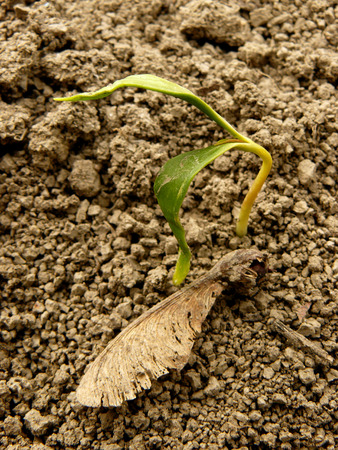 acer saccharum: just germinated small sugar maple seedling with samara