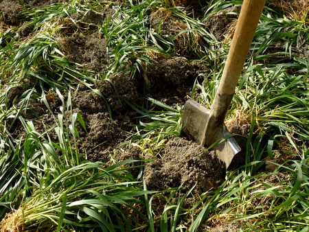 manure: digging of green manure into the soil for fertilizing Stock Photo