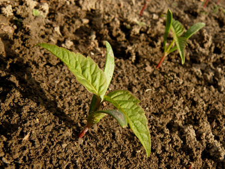 small seedlings of ash-leaved maple photo