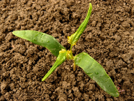 saccharum: small sugar maple seedling with first true leaves