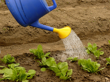 watering of vegetable bed with rows of spinach photo
