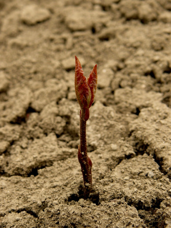 ground nuts: just germinated small red oak tree seedling