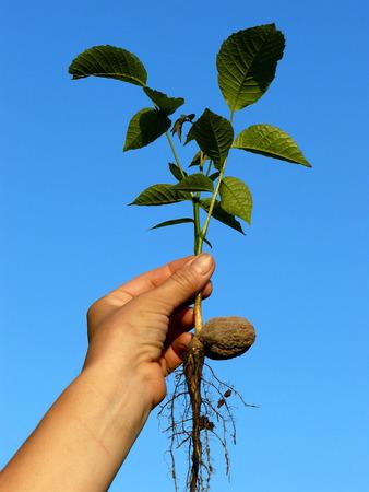 hand holding small walnut tree seedling photo