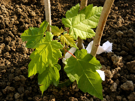 saccharum: sugar maple sapling two months from germination, growing in plastic cylinder to prevent from being damaged by mole cricket, while the roots are too tender Stock Photo