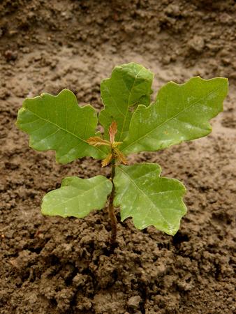 english oak: English  pedunculate  oak tree sapling five-six weeks from germination with second flush of leaves Stock Photo