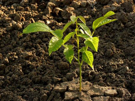 small walnut tree seedling photo