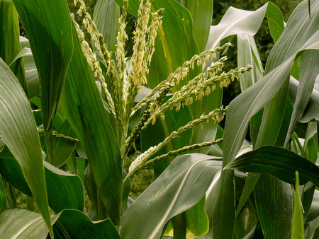 corn flower: corn plant fragment with clusters of male flowers Stock Photo