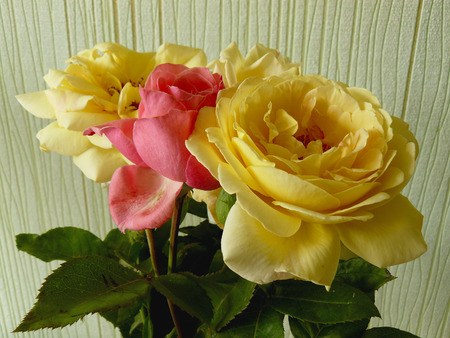 home grown: some home grown roses against wallpaper Stock Photo