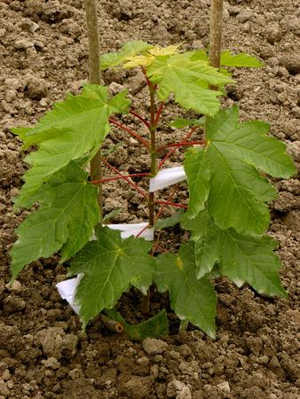 saccharum: sugar maple sapling twelve-fourteen weeks from germination