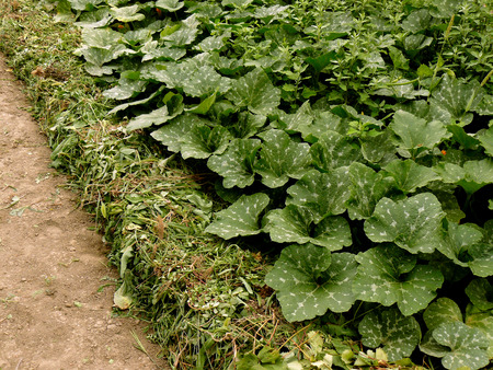 cucurbita: row of pumpkins planted to the bottom of irrigation ditch covered with heaps of weeds as mulch in arid zone